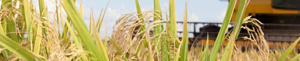 Edair marchezam produtor de arroz em São borj-RS